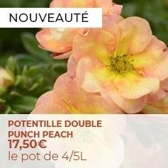 Potentilla fruticosa Double Punch Peach